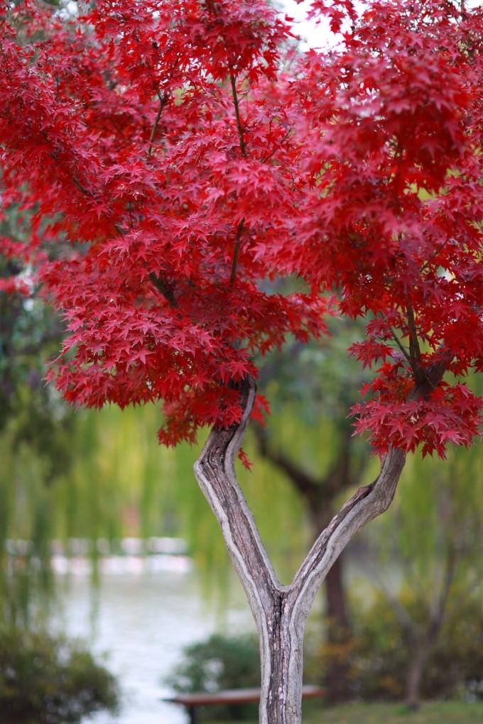 壁纸 枫叶 红枫 树 680_1020 竖版 竖屏 手机